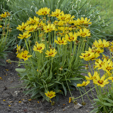 0 coreopsis sunkiss walters 2