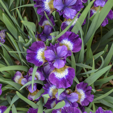 0 iris sibirica contrast in styles 99