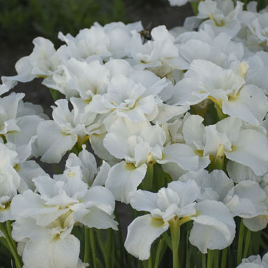 0 iris sibirica swans in flight 99