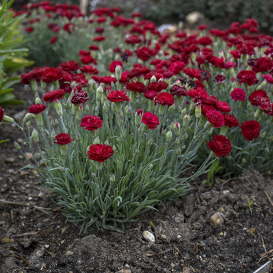 1 dianthus electric red 99