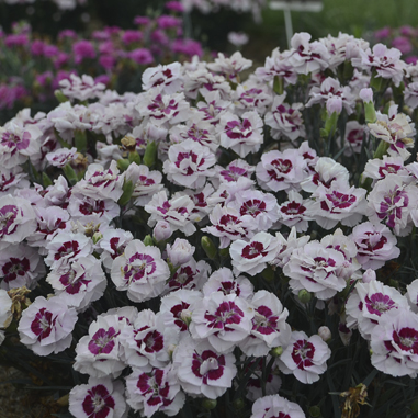 1 dianthus kiss and tell99