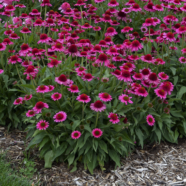 1 echinacea delicious candy 99