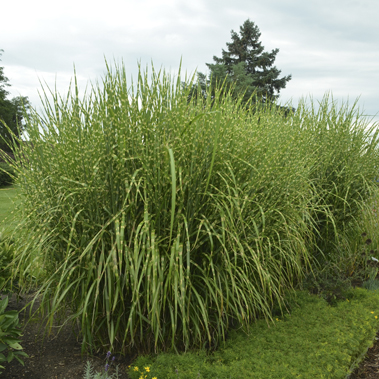 1 grass miscanthus sinensis strictus 0001 high res