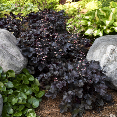 1 heuchera black pearl 99