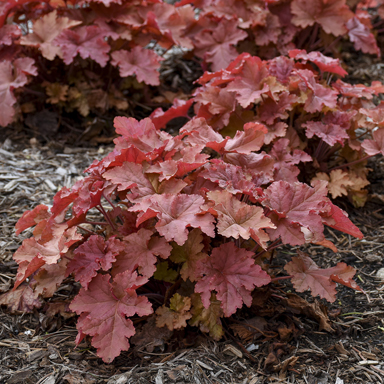 1 heuchera peachberry ice c99