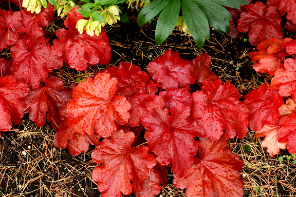 1 heuchera fire alarm 4