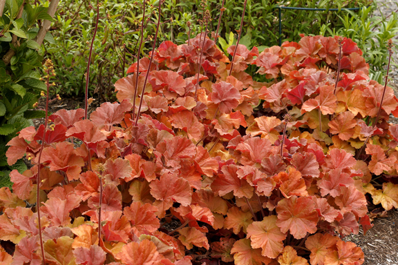 1 heuchera northern exposure amber 499