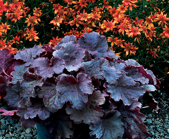 1 heuchera northern exposure black 199