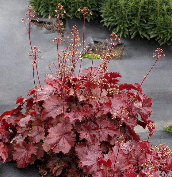 1 heuchera northern exposure red 199
