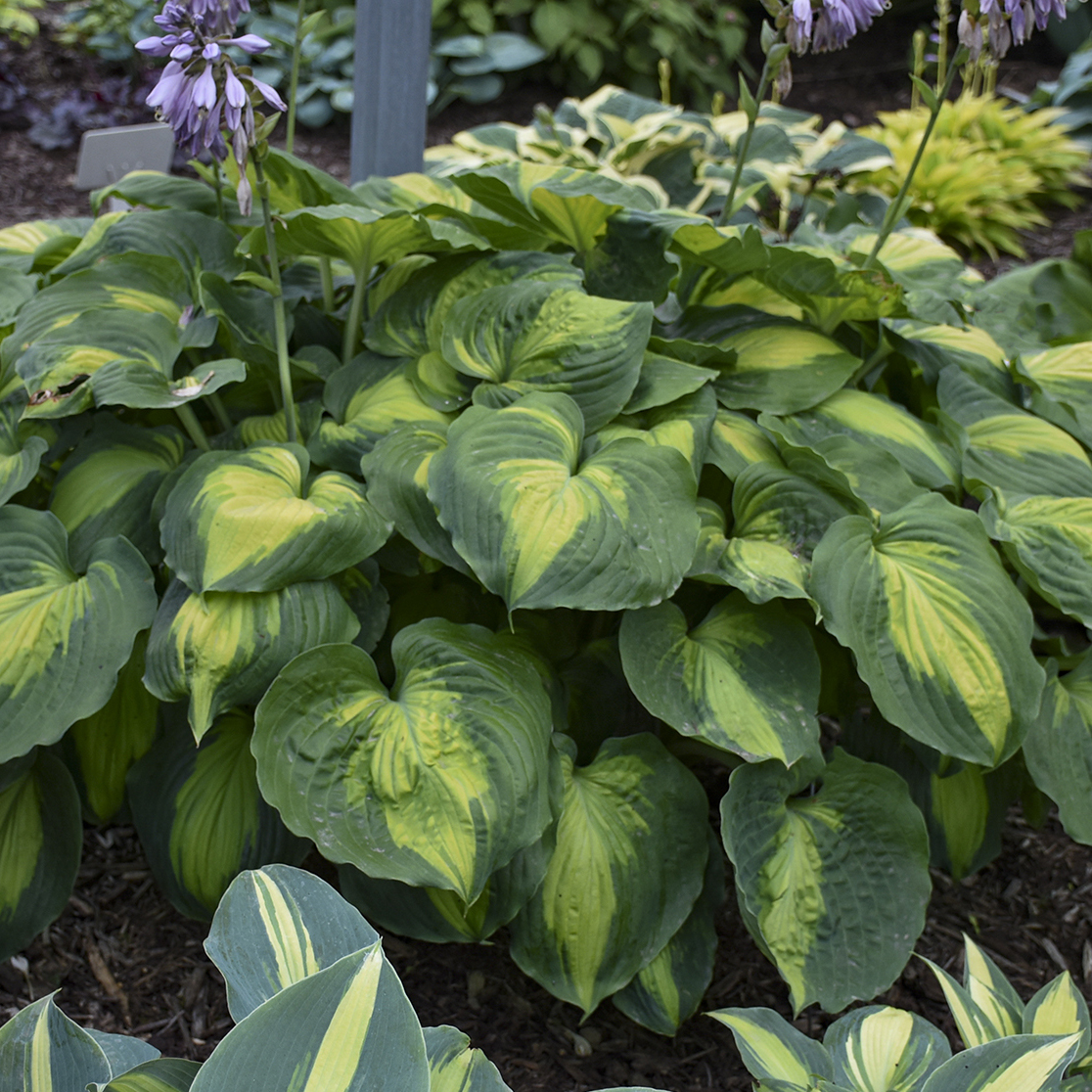 1 hosta beyond glory 99