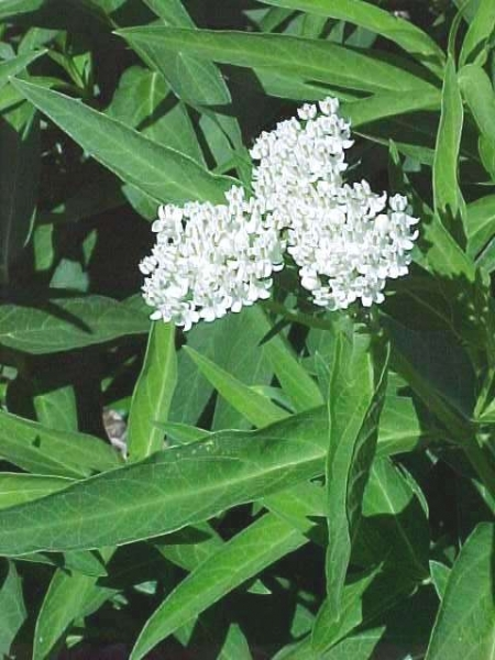 Asclepias 'Ice Ballet' New 2021