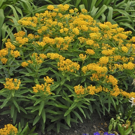 Asclepias 'Hello Yellow' New 2021