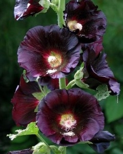Alcea Hollyhock 'Black Beauty' New 2021