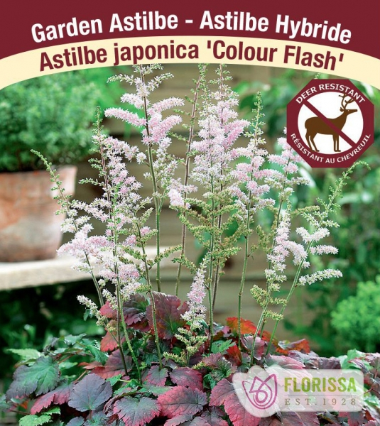 Astilbe 'Color Flash' New 2021