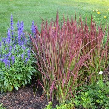 Grass Imperata cylindrica 'Red Baron'