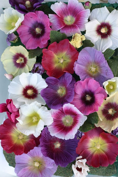Alcea 'Halo Mixture'