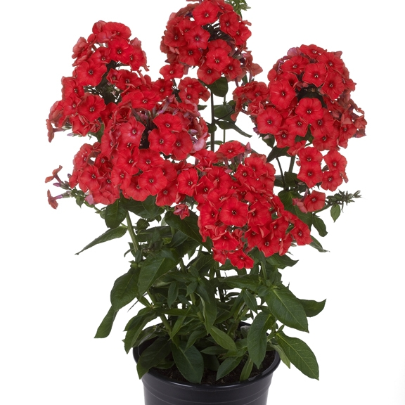 Phlox 'Flame Series Red' New 2021