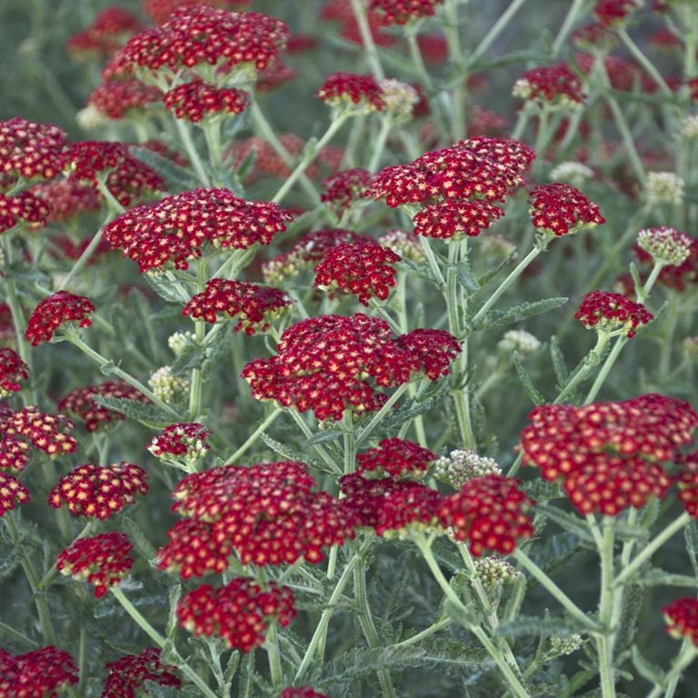 Achillea 'Sassy Summer Sangria' NEW 2020 SOLD OUT