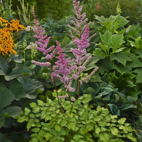 Astilbe 'Amber Moon' SOLD OUT