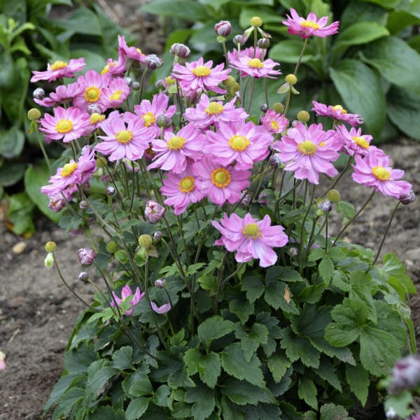 Anemone 'Curtain Call Pink'