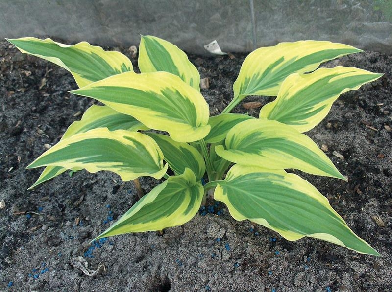 Angelique, Hosta