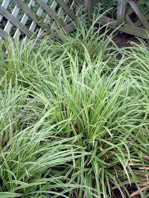 Grass Carex 'Ice Dance' (Sold Out)