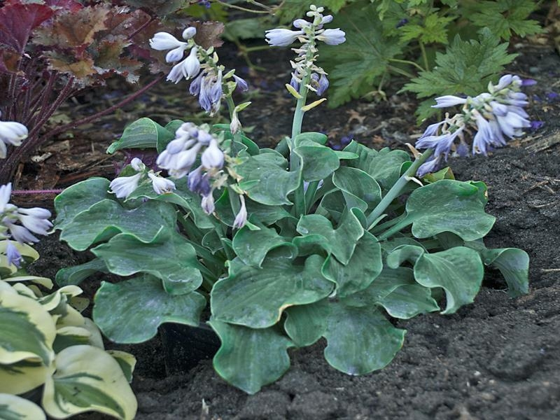 Church Mouse, Hosta
