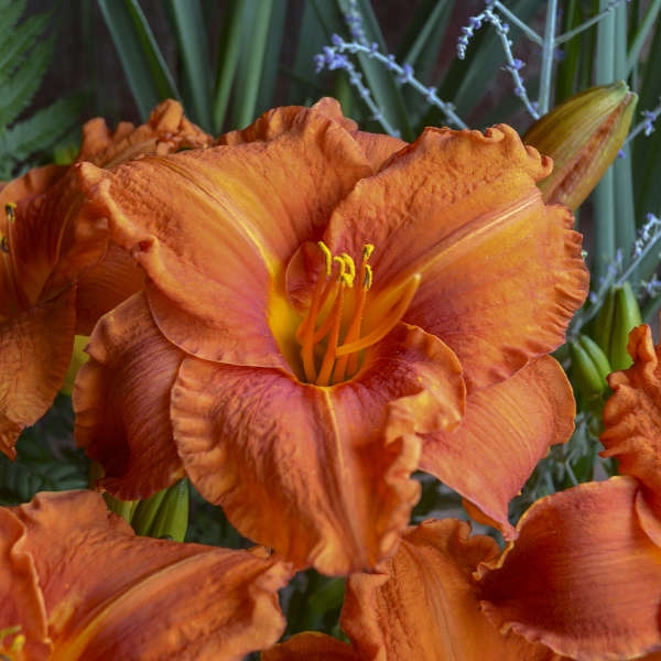 Hemerocallis 'Fire King'