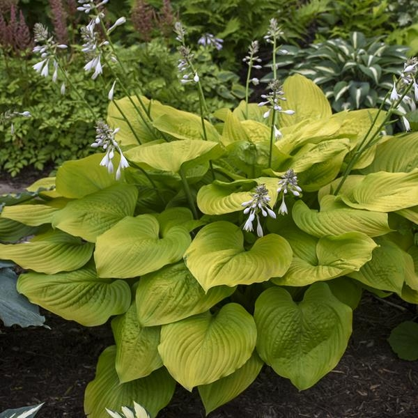Age of Gold, Hosta