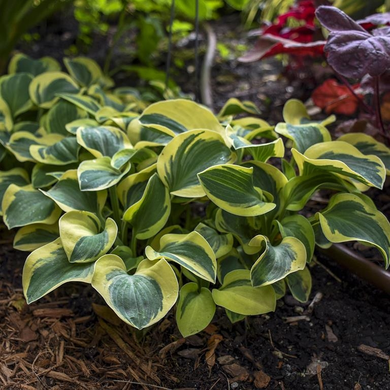 Mighty Mouse, Hosta