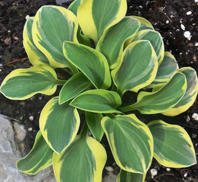 Lucky Mouse, Hosta