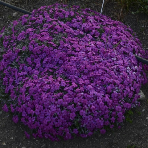 Phlox 'Rocky Road Magenta' SOLD OUT