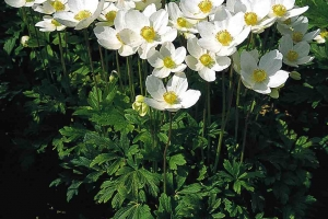 Anemone 'Sylvestris' New 2021