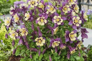 Aquilegia 'Early Bird Purple/Yellow' New 2021