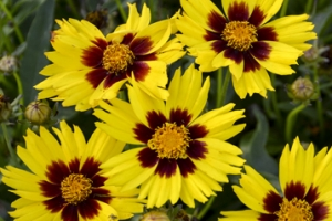 Coreopsis 'SunKiss' New 2021