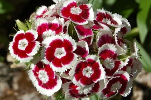 Dianthus 'Holborn Glory' New 2021