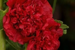 Alcea 'Chater's Double Scarlet' New 2021
