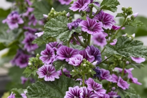 Malva 'Zebrina' New 2021