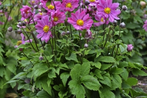 Anemone 'Curtain Call Deep Rose'