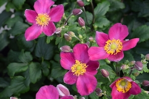 Anemone 'Red Riding Hood' New 2021