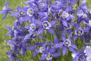 Aquilegia 'Kirigami Deep Blue and White' New 2021