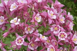 Aquilegia 'Kirigami Rose and Pink' New 2021