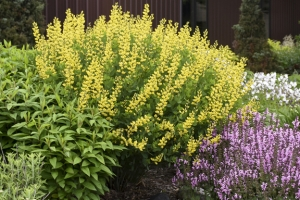 Baptisia 'American Goldfinch' New 2021