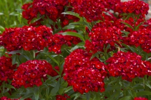 Dianthus 'Scarlet Fever' New 2021