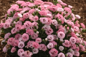 Dianthus 'Cute as a Button' New 2021