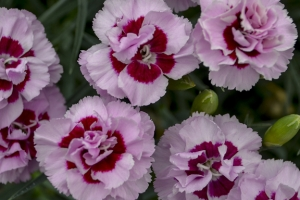 Dianthus 'Kiss and Tell' New 2021