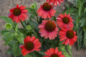 Echinacea 'Frankly Scarlet' New 2021