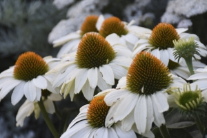 Echinacea 'The Price is White' New 2021