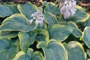 Megan's Angel, Hosta