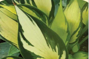Orange Star, Hosta